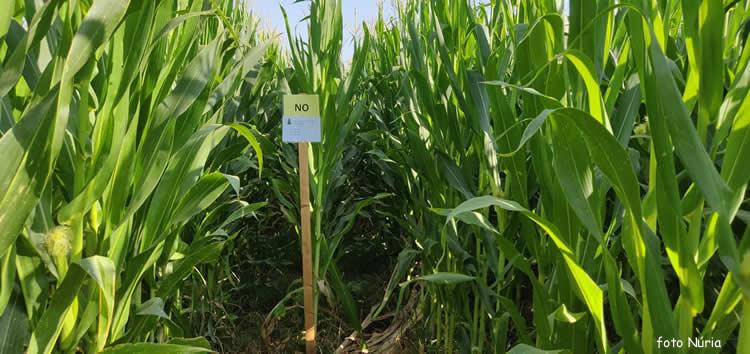 Laberint de blat de moro a Castellsera