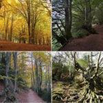 Les fagedes de Catalunya, boscos singulars per anar d'excursió