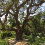 Ruta dels gegants del bosc a Romanya de la Selva
