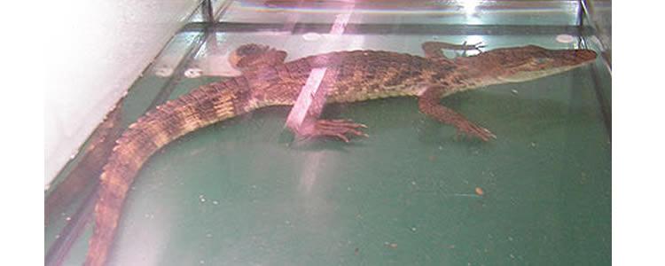 cocodril Pantà de Can Borrell a Collserola