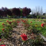 Festa de les roses al Parc Torreblanca