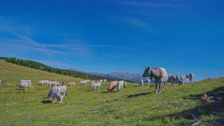 Can Pastoret v vaques